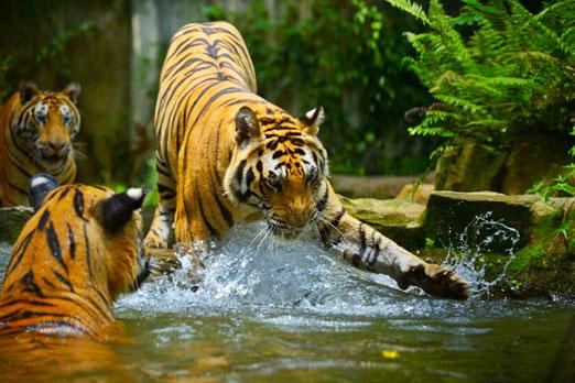 水辺で遊ぶトラ