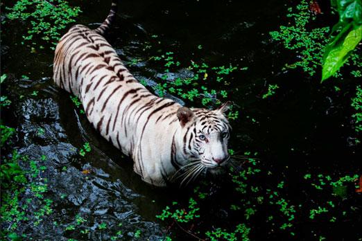水に入ってこちらの様子を伺うホワイトタイガー