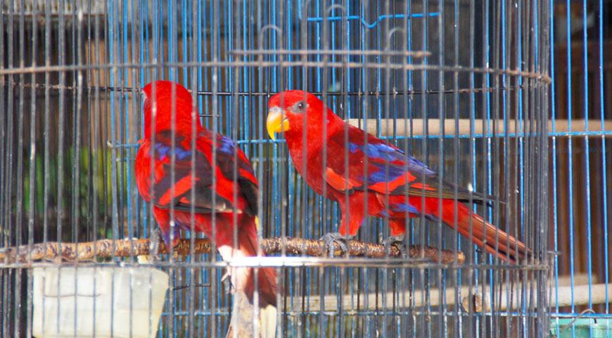 赤い夫婦のラブバード