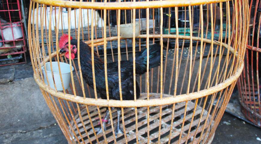 丸い木製のカゴに入れられた黒いニワトリ