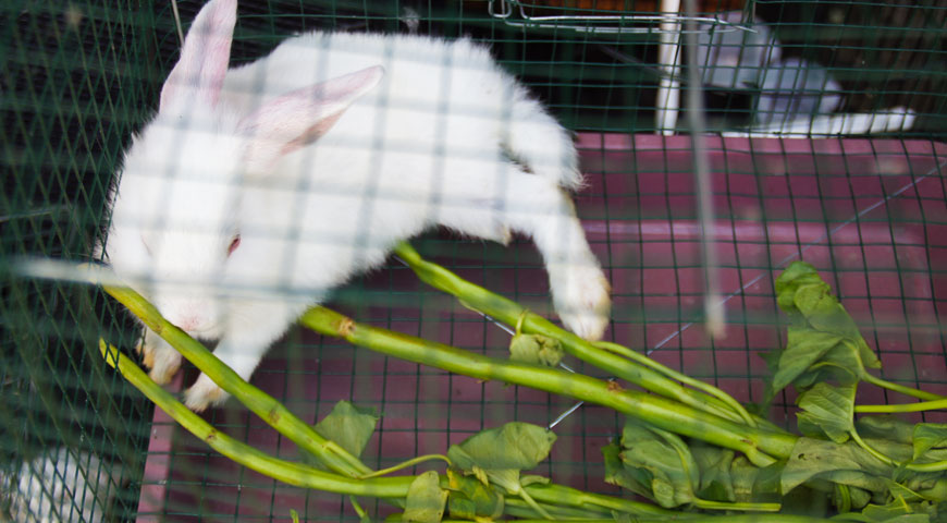 餌を食べる白いウサギ
