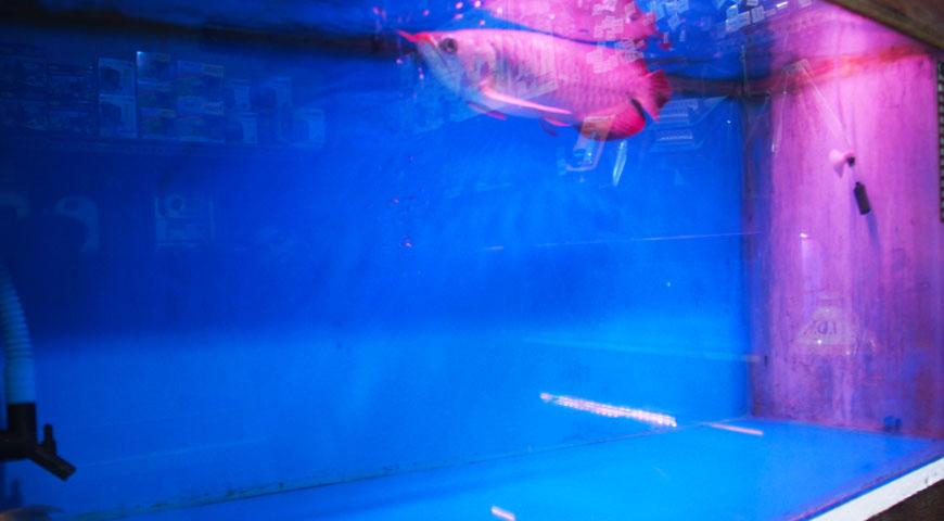 優雅に泳ぐアロワナ